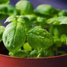 Les plantes aromatiques bio en pot