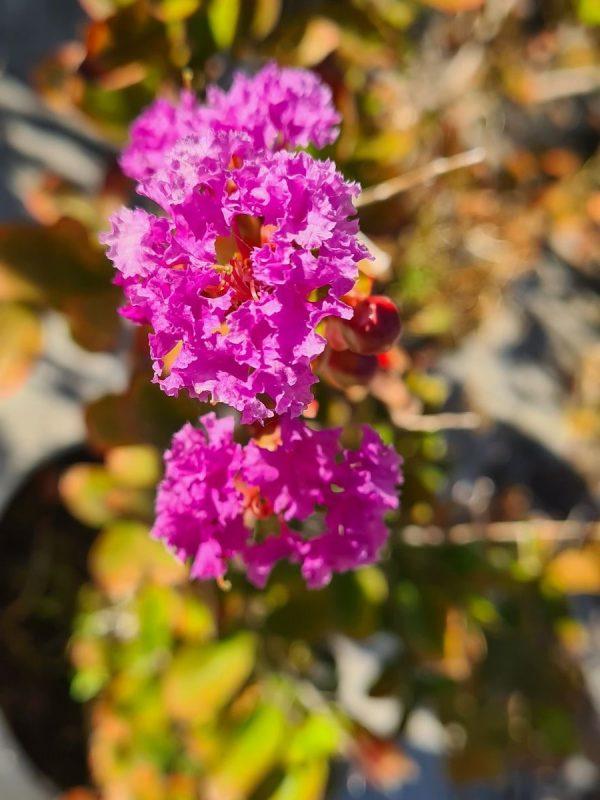 Lagerstroemia mauve en fleurs