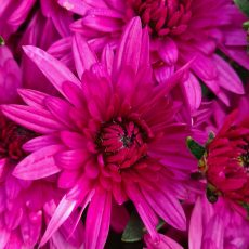 chrysanthèmes 17