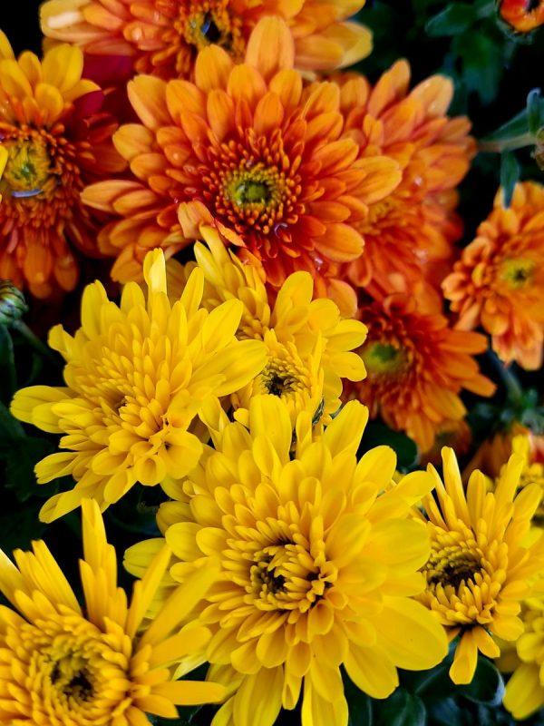 chrysanthèmes panachés pot 21