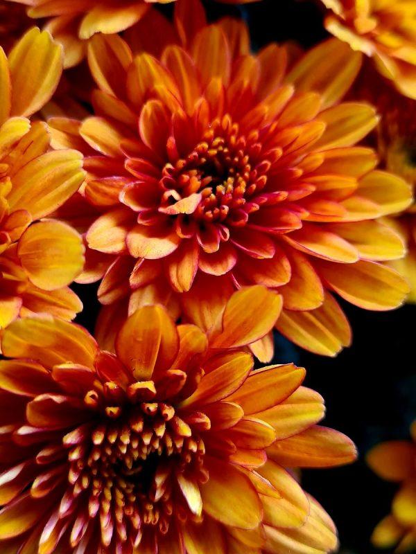 Chrysanthèmes pot de 19